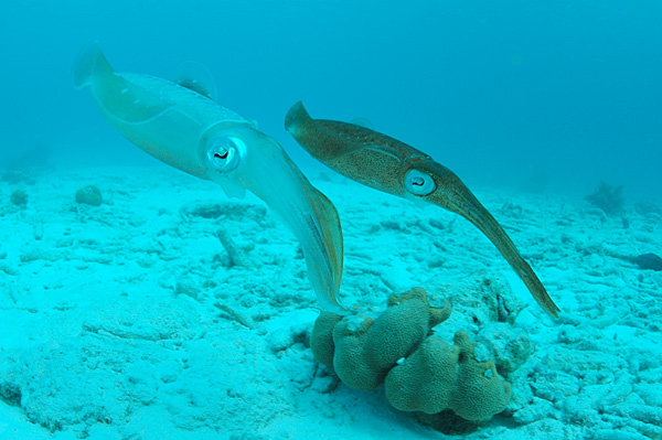 Reef squid